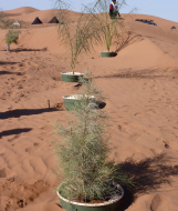 Trees now growing in the Groasis Waterboxx. Sahara desert, Morocco.